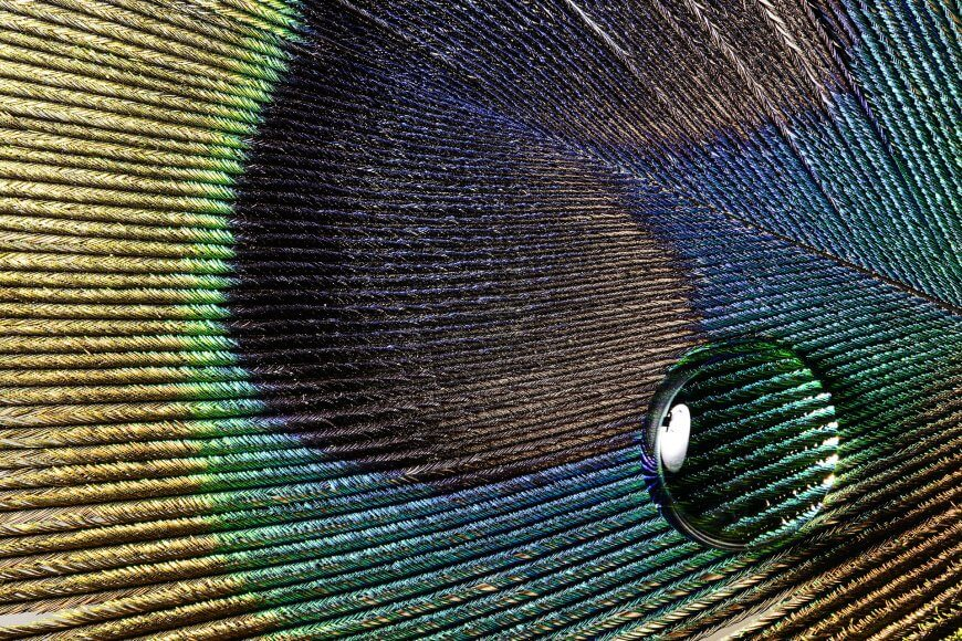 Microscopic enlargement of a peacock feather